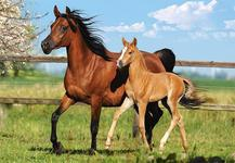 Пазлы Mare and Foal (Лошади) (260 эл.) QC44940