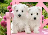 White Terrier Puppies XV81215